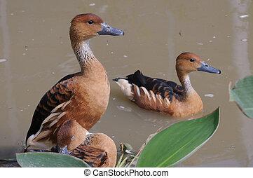 Canard brun - Le Canard brun (Anas fulvigula) est une espèce...