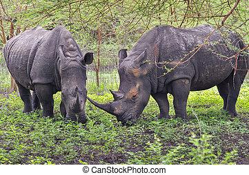 Rhinocéros Noir d'Afrique - Réserve de Bandia (Img.0537) -...