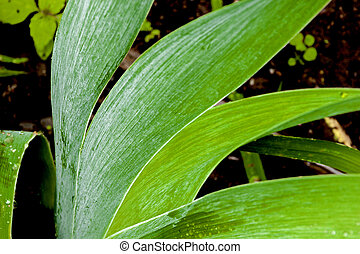 Close up of Rain Covered Bearded Iris Leaves - Close up of...