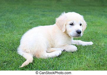 Golden retiever puppy - Golden retiever labrador puppy on...