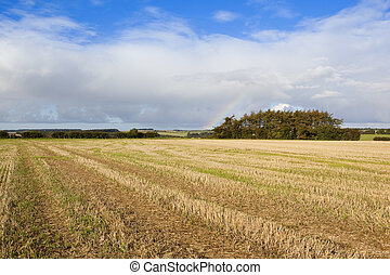 pine copse in autumn - a pine copse and a straw stubble...