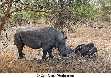 Rhinocéros Noir d'Afrique - Réserve de Bandia (Img.5329) -...