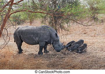 Rhinocéros Noir d'Afrique - Réserve de Bandia (Img.5330) -...