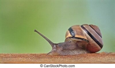 Medium Shot of a White Lipped Snail - The concept of...