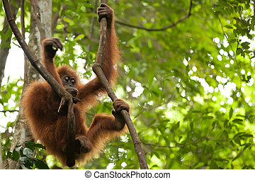 young orangutan - wild young orangutan hanging on liana in...