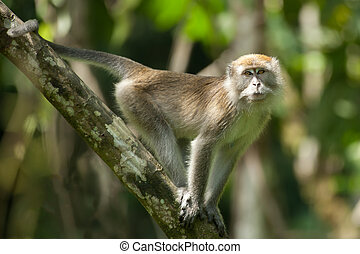 long tailed macaque in tropical rainforest looking at camera