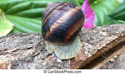 Brown snail turns and crawls on a tree trunk