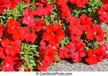 Petunia - Beautiful flowerbed with many bright red petunia