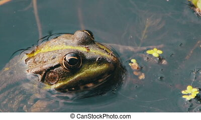 Frog Sitting in the River - Green frog sitting in the river....
