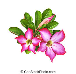 Desert rose flowers with green leaf isolated