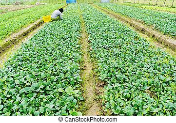 Vegetable plot - Garden Fresh Vegetables Growing in a home...