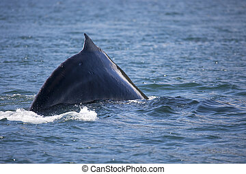 Humpback whales hump - Alaskan humpback whale with fin out...