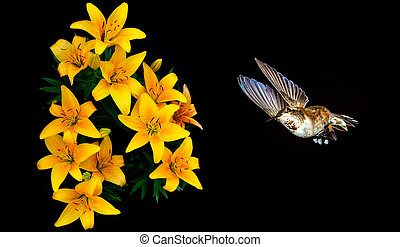 Hummingbird feeding from beautiful lily - Hummingbird with...