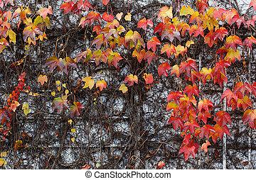 Red Ivy Creeper or Parthenocissus tricuspidata Veitchii