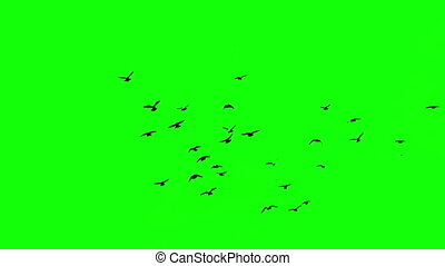 birds on the green screen