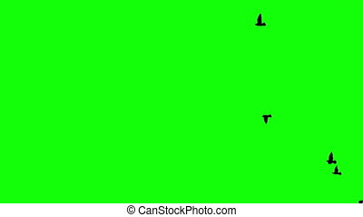 birds on the green screen - the flight of several birds on...