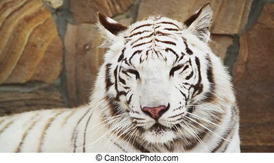 white tiger panting from the heat in the cell