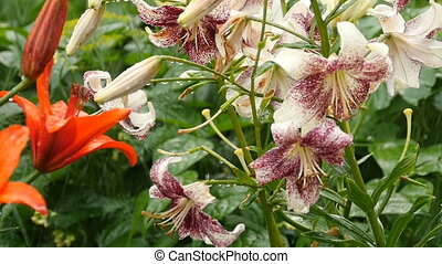 Tiger and Orange Lily flower under rain - Raindrops on the...