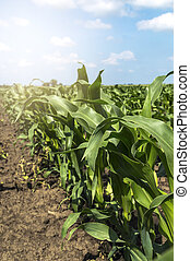 Young green corn in agricultural field.