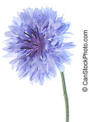 cornflower - Studio Shot of Blue and Cyan Colored Cornflower...