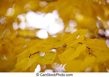 Golden linden tree with yellow leaves in autumn