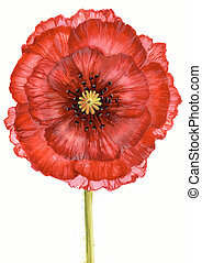 Scarlet poppy - Creative image of red poppy on green stalk...