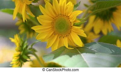 Flowers sunflower close-up, vertical pan