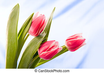 Bunch of tulips - Image of tulips with open buds isolated on...