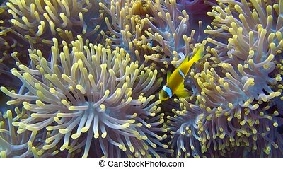 Clownfish family playing in their anemone home. HD