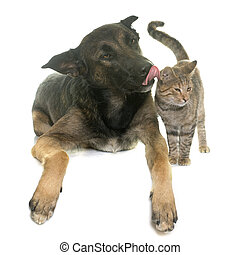 kitten and malinois - kitten and belgian shepherd malinois...