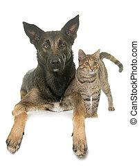 kitten and malinois - kitten and belgian shepherd malinois...
