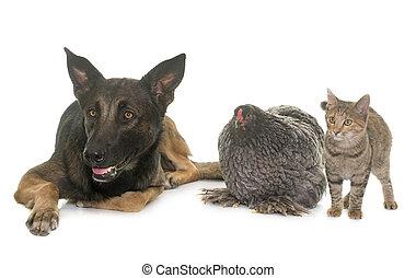 kitten, chicken and malinois - kitten, chicken and belgian...