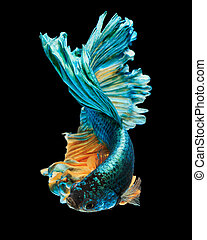 "betta fish, siamese fighting fish ""Half moon"" isolated on..."