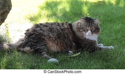 Cat On Alert - Longhair cat sitting in the grass and...