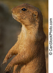 A Black-tailed prairie dog, Cynomys ludovicianus, sitting...