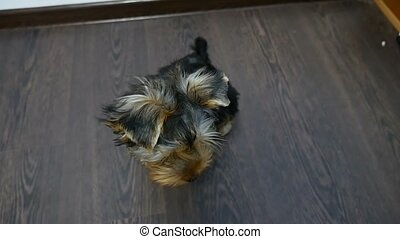 pet Yorkshire Terrier dog sitting looking at the camera -...