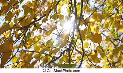 autumn maple leaves tree swaying in the wind, sun glare...