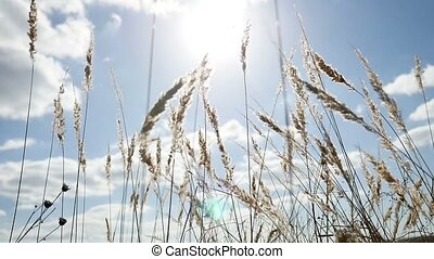 field lonely dry grass in the field on tree background of blue sky autumn nature