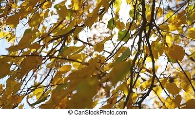 autumn maple tree leaves swaying in the wind, sun glare...