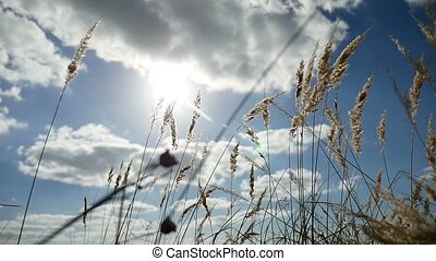lonely grass dry in the field on background of blue sky...