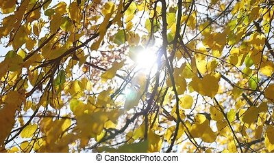 autumn maple leaves swaying tree in the wind, sun glare...