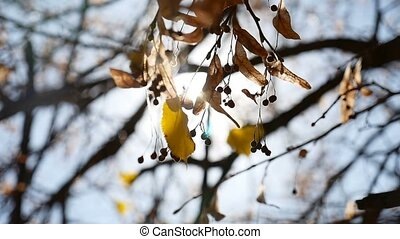 Maple autumn helicopter branches tree swaying nature - Maple...