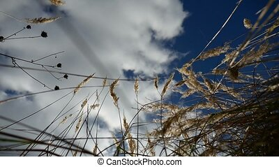 field lonely dry grass in the field on background tree of blue sky autumn nature