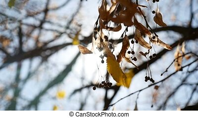 Maple autumn helicopter branches swaying tree nature - Maple...