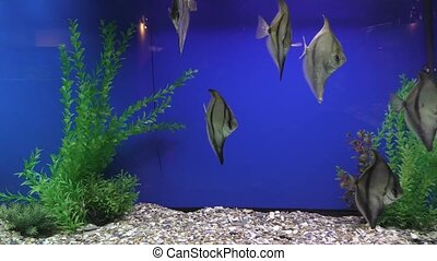 Exotische Fische im Aquarium - Exotic fish swim in the...