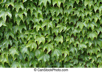 nature background - wall covered by tricuspidata...