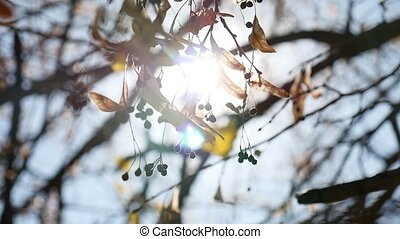 Maple autumn helicopter tree branches swaying nature - Maple...