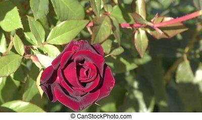 Burgundy rose flower in the autumn garden