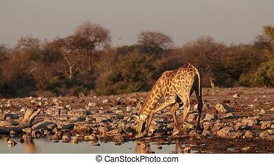 Giraffe drinking water - A giraffe (Giraffa camelopardalis)...