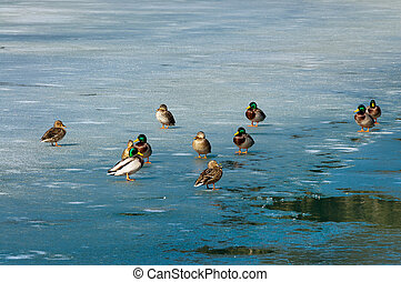 Ducks on the Frozen Fusine Lake - Italy - A group of male...